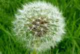 Ball of Wonder - Dandelion - dent de lion - Taraxacum