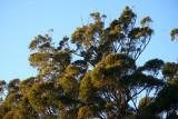 Wooglemai - Tremendous Tree top