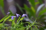 Wooglemai - purple wonder