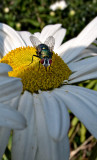 Hoverfly #2