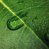 Rhododendron leaf with  rain drop