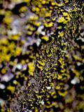 Lichen on Japanese Maple