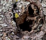 Lichen on Japanese Maple #2