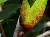 Rhododendron leaf