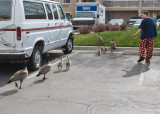 The Goose Family....and a BYU  Duck
