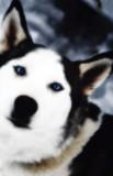 Amazing Sled Dogs