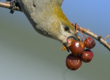 Pine Grosbeak 2970