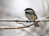 Black-capped Chickadee 3349
