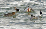 Red-breasted Mergansers Courting