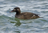 White-winged Scoter 3553