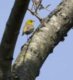 Pine Warbler 0120