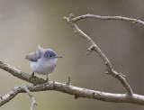 Blue-gray Gnatcatcher 0143