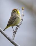 Singing Palm Warbler 0188