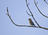 Eastern Bluebird 9971