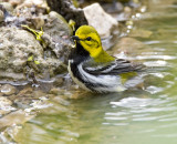 Black-throated Green Warbler 172.jpg