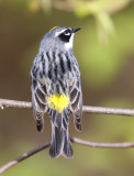 Yellow-rumped Warbler 0364