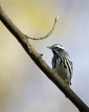 Black and White Warbler 0626