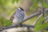 White-crowned Sparrow 0642