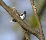 Black and White Warbler 0722