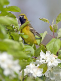 Orchard Oriole 0804