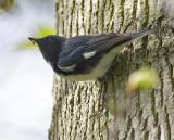 Black-throated Blue Warbler 0873