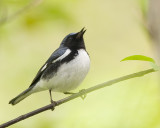 Black-throated Blue Warbler 0882