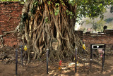 Ayutthaya Roots with Lord Buddha's face