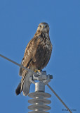 20080124 168 Rough-legged Hawk SERIES.jpg