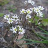 Drave du printemps