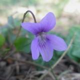 Violette hérissée