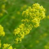 Gaillet jaune