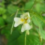 Impatiente à petites fleurs