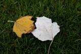18194 09:43 Day 2 - Melburnian Autumn Leaves III