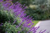 18264 10:59 Day 2 - Lavender Spray