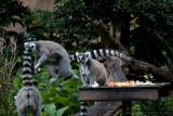 20501 The Leaping Lemur