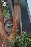 20455 Koala Nap Time