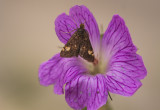 Muntvlinder