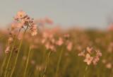 Pinksterbloemen