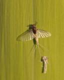 Uitsluipen van een eendagsvliegje