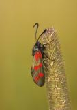 Sintjansvlinder