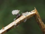 Golfhoed mycena (zeer zeldzaam)