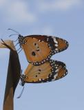 parende Kleine monarchvlinder