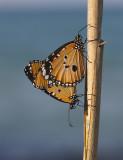 Kleine monarchvlinder