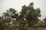 Oude olijfbomen.jpg