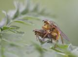 Parende strontvliegen