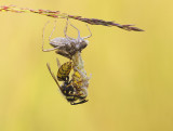 uitsluiping van heidelibel en wesp