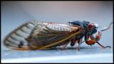 Periodic Cicada I
