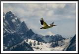 American Pelican (Grand Tetons)