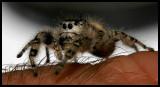 The Unexpected Visitor (Phidippus otiosus?)