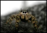 Unexpected Visitor (Phidippus otiosus?)